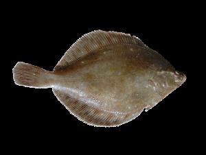 Schol - Pleuronectes platessa